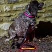 Pink LED Light Up Dog Collar & Lead